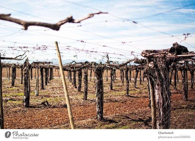 Vinyard Wein Weinbau Weinberg Weintrauben Weinlese Keller Spirituosen Umwelt Erde Himmel Pflanze Baumstamm Ast Gitter züchten Baumschule Feld