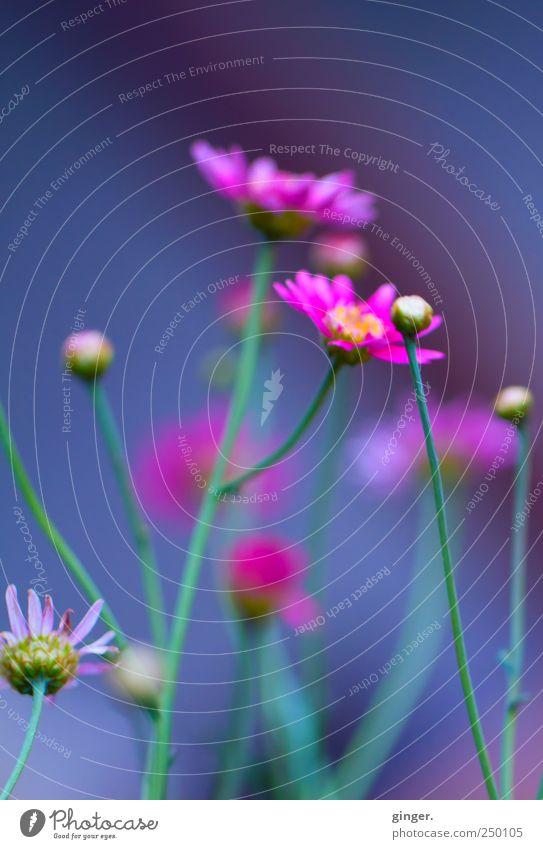 Ich lass noch ein paar Blümchen da und bin dann mal weg... Natur grün Pflanze Sommer Blume Blatt kalt Umwelt Garten Blüte rosa mehrere Wachstum Romantik