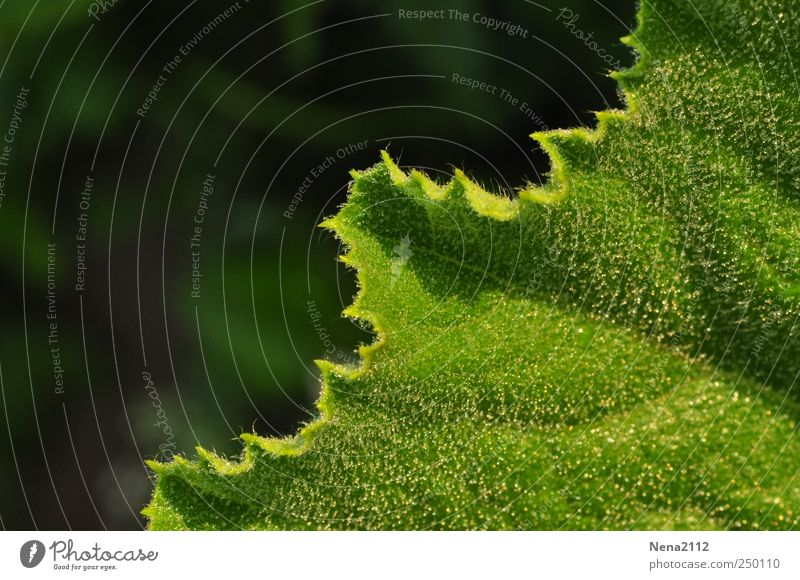 ungerade... Natur Pflanze Wassertropfen Blatt Nutzpflanze grün feucht Tau morgengtau Zucchini diagonal Farbfoto Außenaufnahme Nahaufnahme Detailaufnahme
