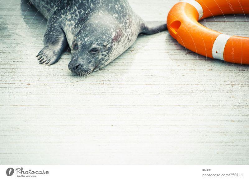 Bereitschaftsdienst Tier Wildtier Tiergesicht 1 liegen warten lustig Neugier niedlich wild Rettung Halbschlaf orange Seehund Robben Rettungsring Tierschutz