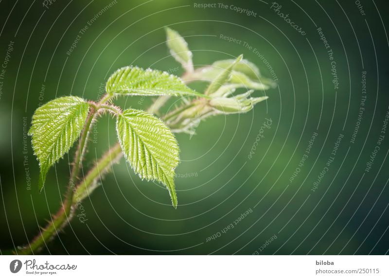 In neuer Frische Natur grün rot Blatt Frühling frisch stachelig Stachel Brombeeren