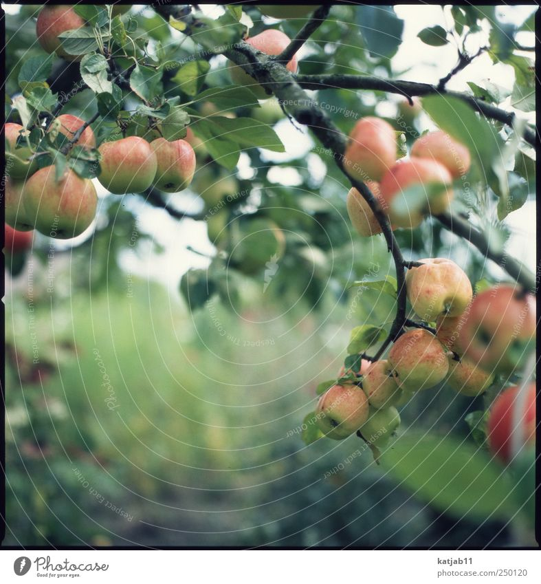 Apples Natur Baum Pflanze Sommer Umwelt Garten Frucht frisch Apfel reif saftig Schrebergarten Apfelbaum Nutzpflanze