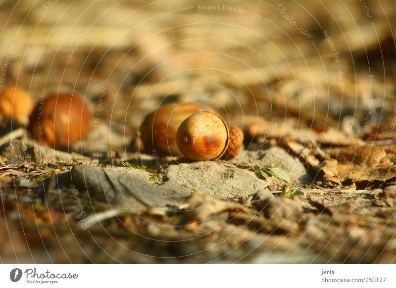 Froschperspektive Natur Herbst Umwelt Wege & Pfade natürlich Eicheln