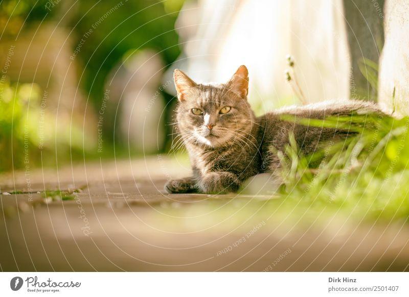 Grauer Kater auf Gartenweg Frühling Sommer Schönes Wetter Gras Park Tier Haustier Katze Fell 1 kuschlig niedlich grau Pause Wege & Pfade weich Idylle liegen