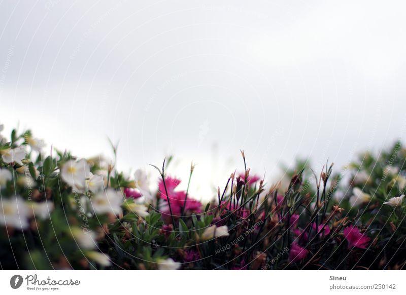 Lucy In The Sky With Diamonds Himmel Natur weiß grün Pflanze Blume ruhig Erholung klein rosa natürlich Frühlingsgefühle
