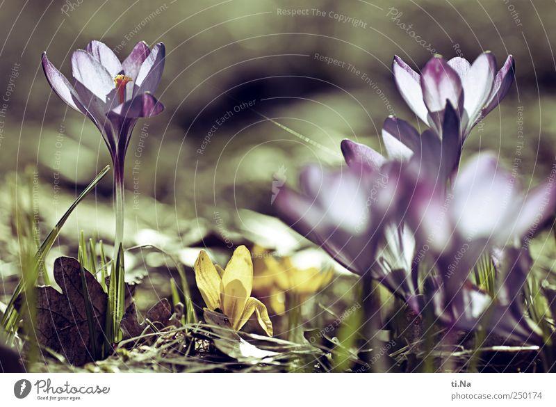Blumen für Dich Umwelt Natur Pflanze Frühling Gras Blüte Krokusse Blühend Duft hell schön Frühlingsgefühle Farbfoto Außenaufnahme Schwache Tiefenschärfe