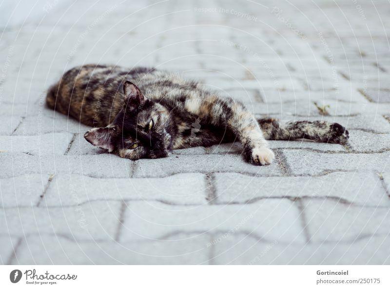 Siesta ruhig Tier Erholung grau Katze liegen niedlich Tiergesicht Fell gemütlich Haustier Pfote gefleckt Katzenkopf