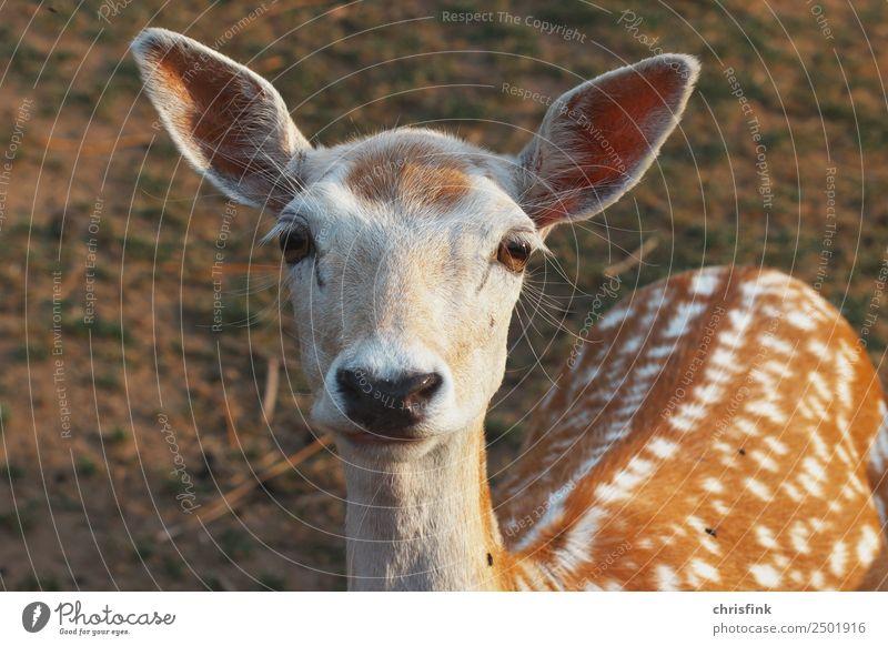 Reh blickt in die Kamera Lebensmittel Tier Wildtier Hirsche schalenwild Jagd Jäger Bambi 1 braun Farbfoto Außenaufnahme Morgen Blick