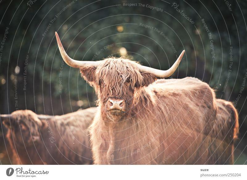 Buffalo Bill Natur Tier Umwelt bedrohlich authentisch Tiergesicht Fell Landwirtschaft Horn Forstwirtschaft Biologische Landwirtschaft Rind Bulle Herde Nutztier buschig