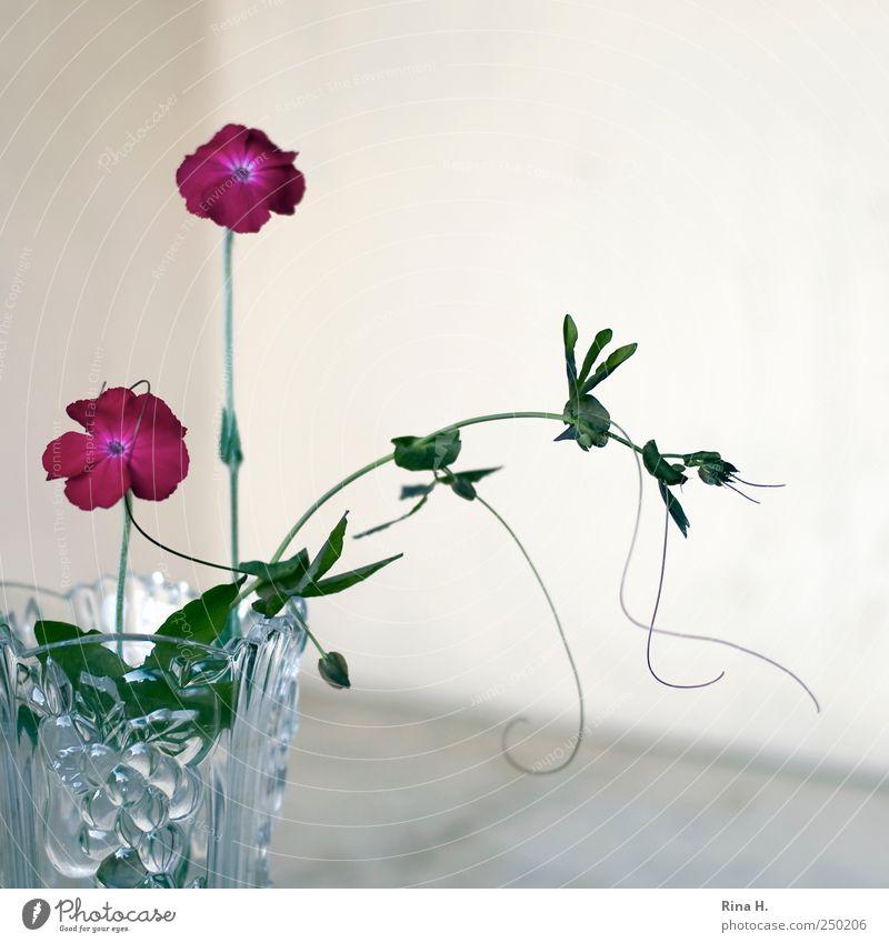 Umschlungen grün Pflanze Blume Blatt Blüte hell rosa natürlich festhalten Vase Kletterpflanzen Passionsblume