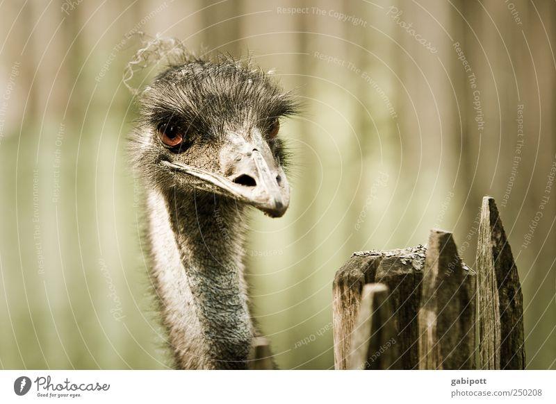 Hangover Tier Zoo Emu 1 außergewöhnlich exotisch braun grün Zaun Schnabel Blick Vogel Gedeckte Farben Außenaufnahme Menschenleer Tag Sonnenlicht