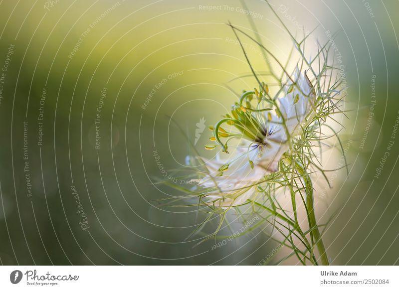 Jungfer im Grünen (Nigella damascena) Natur Sommer Pflanze schön Blume Erholung ruhig Liebe Blüte Garten außergewöhnlich Feste & Feiern Design Zufriedenheit