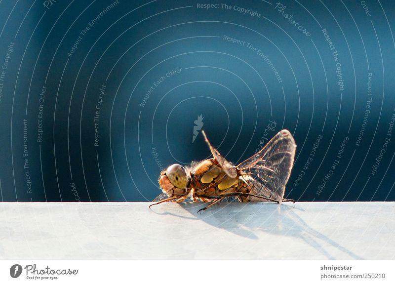 Libello Natur blau schön Tier Herbst Umwelt Wetter gold fliegen Klima Flügel außergewöhnlich Häusliches Leben einzigartig Warmherzigkeit Insekt