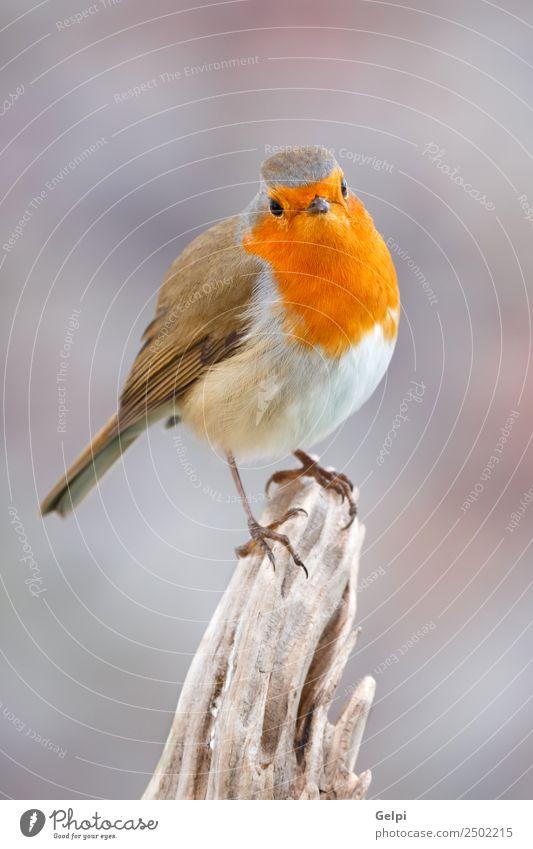 Hübscher Vogel schön Leben Mann Erwachsene Umwelt Natur Tier Holz klein natürlich wild braun grau weiß Tierwelt Rotkehlchen allgemein gehockt Hintergrund