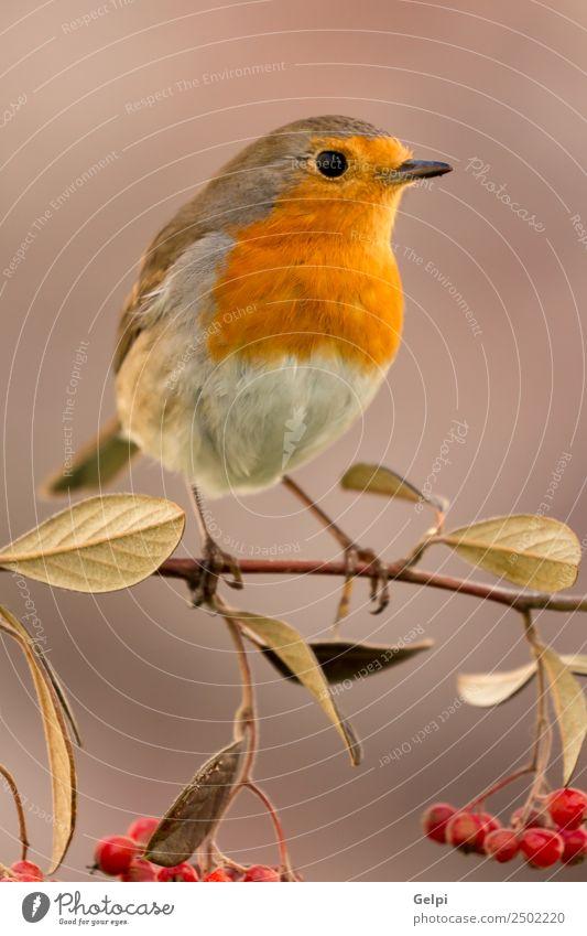 Hübscher Vogel schön Leben Mann Erwachsene Umwelt Natur Tier Herbst klein natürlich wild braun weiß Tierwelt Rotkehlchen Beeren rote Frucht Ast allgemein