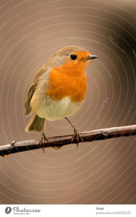 Hübscher Vogel schön Leben Mann Erwachsene Umwelt Natur Tier klein natürlich wild braun weiß Tierwelt Rotkehlchen allgemein gehockt Hintergrund Passerine