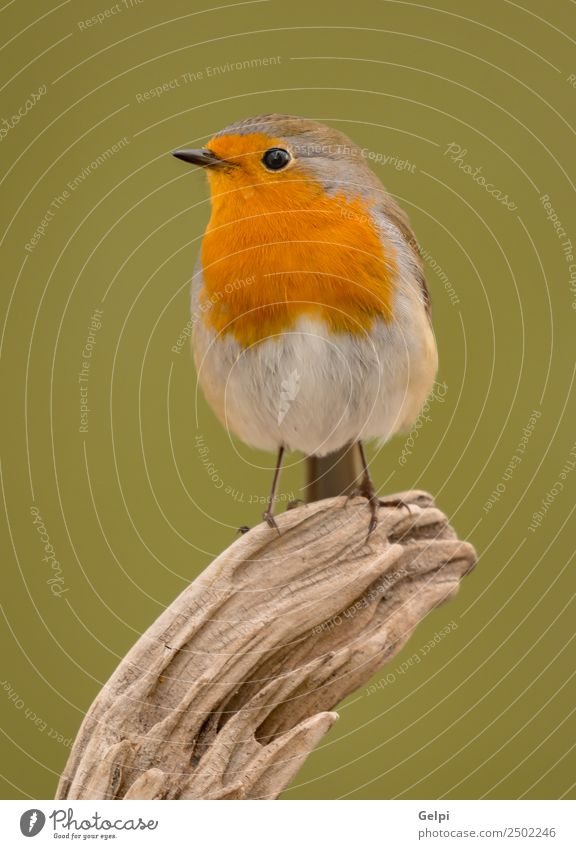 Hübscher Vogel schön Leben Mann Erwachsene Umwelt Natur Tier Holz klein natürlich wild braun weiß Tierwelt Rotkehlchen allgemein gehockt Hintergrund Passerine