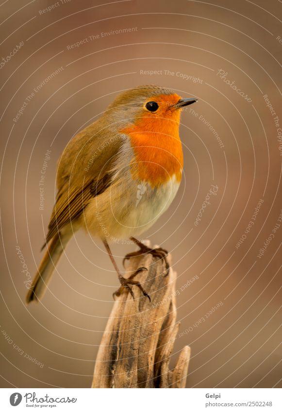 Hübscher Vogel mit einem schönen orange-roten Gefieder. Leben Mann Erwachsene Umwelt Natur Tier klein natürlich wild braun weiß Tierwelt Rotkehlchen allgemein