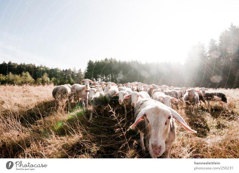 Sheep loves me YEAH Sommer Wald Wiese See Nebel Tiergruppe Appetit & Hunger Schönes Wetter Schaf füttern Herde Klima