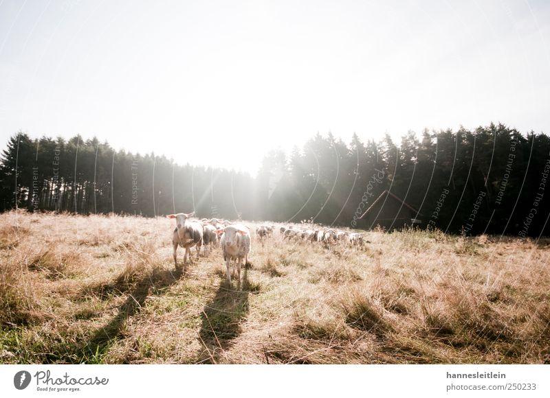 Sheep loves me YEAH YEAH Wald lustig Feld Tiergruppe Landwirtschaft Hütte Appetit & Hunger Wachsamkeit Schaf füttern Herde listig verfolgen Hirte