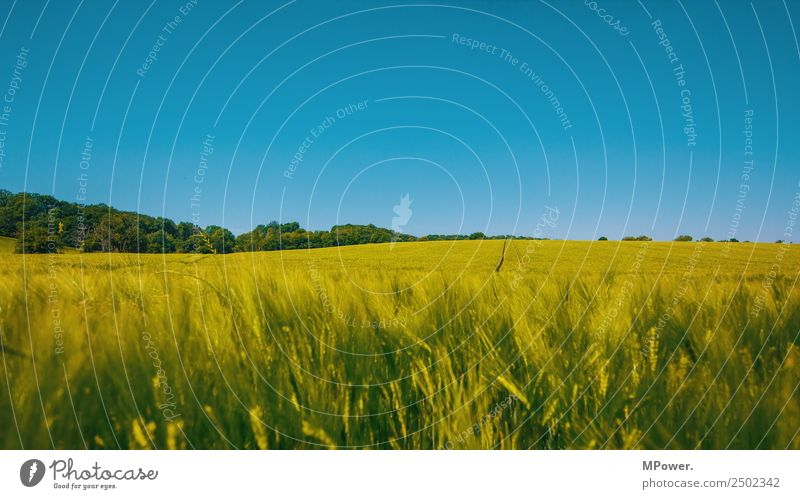 roggenfeld Umwelt Schönes Wetter Feld Klima Roggenfeld Roggenähren Blauer Himmel Ackerbau Landwirtschaft Getreidefeld grün Ernte Farbfoto Außenaufnahme