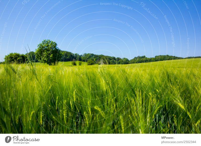 getreidefeld Umwelt Landschaft Schönes Wetter Feld Wachstum Getreidefeld Weizen Rogen grün Ackerbau Landwirtschaft blau Farbfoto Außenaufnahme Tag