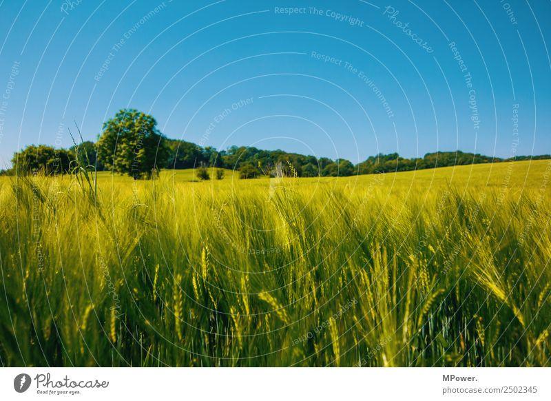 getreidefeld Umwelt Schönes Wetter Feld Klima Roggenfeld Roggenähren Blauer Himmel Ackerbau Landwirtschaft Getreidefeld Kornfeld grün Ernte Farbfoto