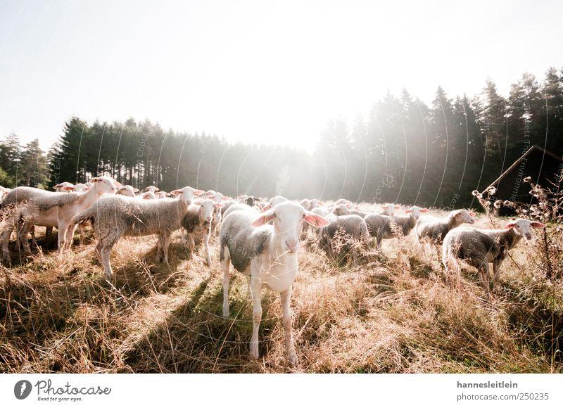 Sheep loves me YEAH YEAH YEAH Tier Wald Wiese lustig Tiergruppe Tiergesicht beobachten Fell entdecken Appetit & Hunger Wachsamkeit Schaf frech Durst füttern