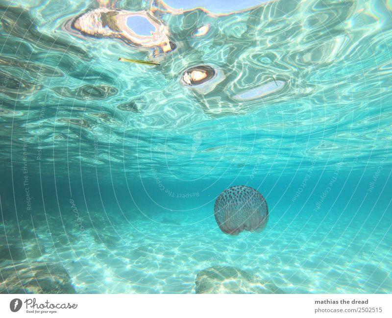 PELAGIA Wasser Meer Qualle 1 Tier Schwimmen & Baden berühren leuchten tauchen ästhetisch außergewöhnlich bedrohlich elegant schön Schmerz gefährlich skurril