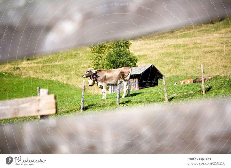 ready to viehscheid Ferien & Urlaub & Reisen Ferne Tier Wiese Freiheit Berge u. Gebirge Landschaft Stimmung Feld Ausflug Abenteuer Tourismus Alpen Kuh Schmuck