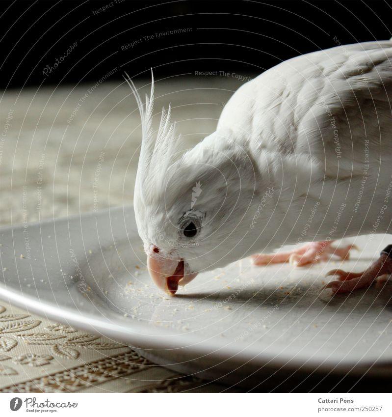 Alles aufessen! schön weiß Tier natürlich hell Vogel genießen Feder berühren nah Haustier Teller Schnabel Tischwäsche wählen Zunge