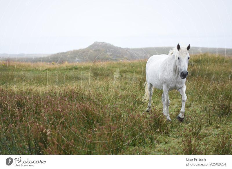 Weißes Pferd laufend im Gras, Irland. Umwelt Natur Landschaft Wiese Hügel Republik Irland 1 Tier Bewegung frei natürlich anstrengen Freiheit Freizeit & Hobby
