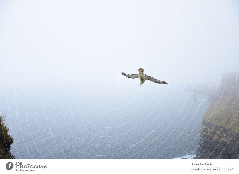 Sturzflug - Nebel, Cliffs of Moher - Irland Ferien & Urlaub & Reisen Umwelt Natur Landschaft Felsen Meer Republik Irland Vogel Flügel 1 Tier fliegen Beginn