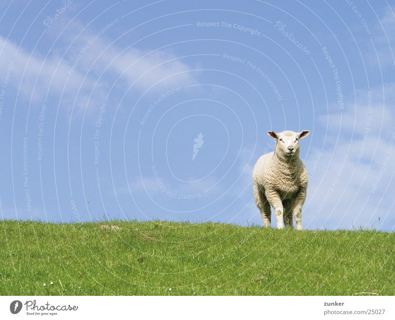 Einsam Natur Himmel grün blau Wolken Tier Verkehr Schaf Deich