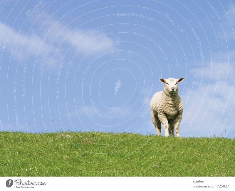 Einsam Schaf Deich grün Tier Wolken Verkehr Himmel blau Natur