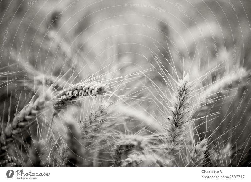 Gerste Pflanze Sommer Nutzpflanze Gerstenfeld Getreide Getreidefeld elegant natürlich stachelig grau ruhig beweglich Trauer Kraft Stimmung Umwelt Wachstum