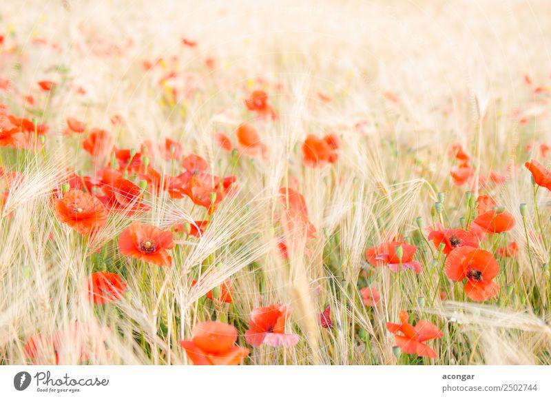 Mohn im Weizenfeld unter der Morgensonne schön Sommer Umwelt Landschaft Pflanze Blume Blüte Wiese frisch hell natürlich rot Farbe Ackerbau Überstrahlung Müsli