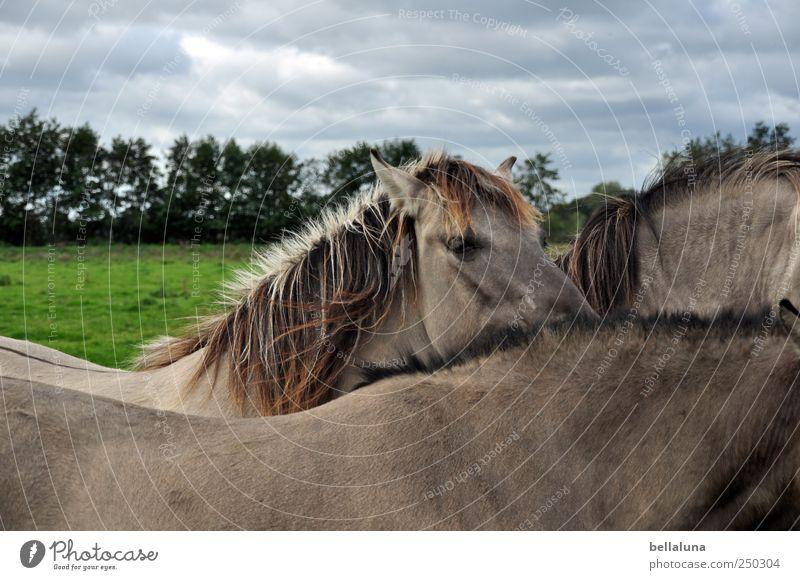 Konik-Wildponys Tier Wiese stehen Wildtier Pferd Tiergesicht Fell Weide Ponys Herde Tierfamilie