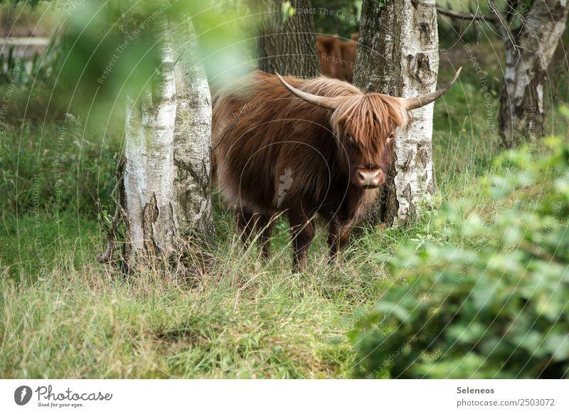 Rindvieh Ferien & Urlaub & Reisen Tourismus Ausflug Abenteuer Sommer Umwelt Natur Schönes Wetter Pflanze Birkenwald Park Wald Tier Nutztier Kuh Tiergesicht Horn