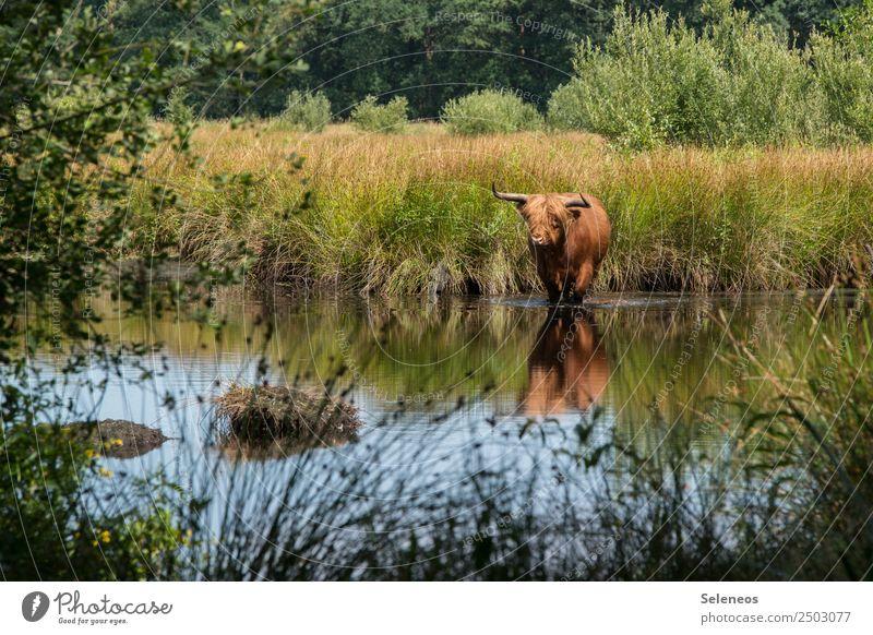 nasse Hufe Kuh Tier Wildtier Wasser See Teich Ufer Seeufer Natur Umwelt Außenaufnahme Farbfoto Menschenleer Gras Landschaft Reflexion & Spiegelung