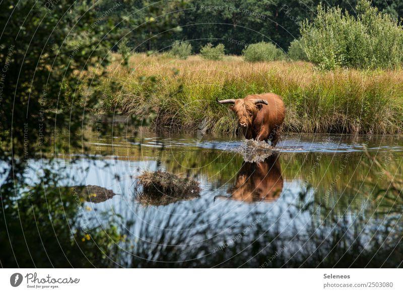Badespaß Ferien & Urlaub & Reisen Tourismus Ausflug Freiheit Sommer Umwelt Natur See Fluss Tier Wildtier Rind 1 Schwimmen & Baden nass natürlich Landleben