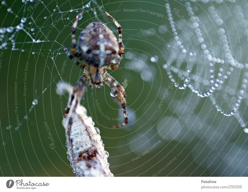 Taufrisches Frühstück Natur Wasser grün Tier Umwelt Garten braun nass Wassertropfen natürlich Wildtier Urelemente Spinne Spinnennetz Außenaufnahme Kreuzspinne