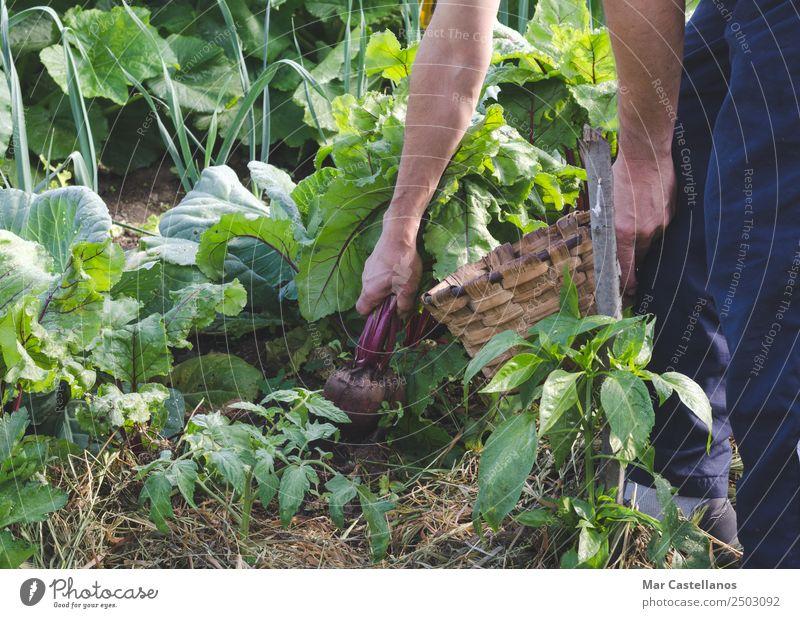 Die Hände des Bauern pflücken rote Rüben im Obstgarten. Gemüse Ernährung Vegetarische Ernährung Diät Landwirtschaft Forstwirtschaft Industrie Mann Erwachsene