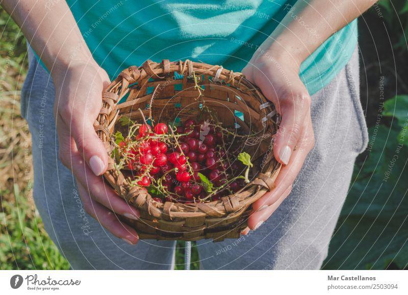 Frauenhände pflücken rote Johannisbeeren in einem Korb. Frucht Dessert Saft Wellness Arbeit & Erwerbstätigkeit Gartenarbeit Landwirtschaft Forstwirtschaft