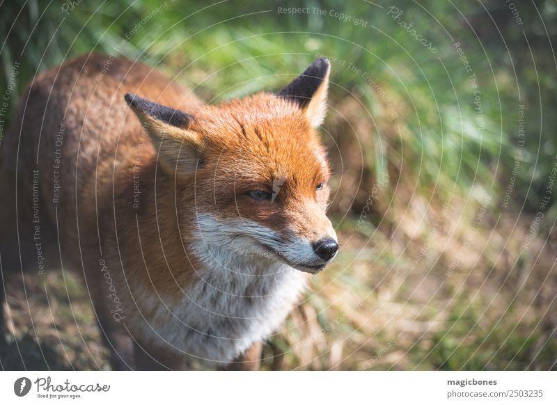 Europäischer Rotfuchs Erwachsene Natur Landschaft Tier Gras liegen wild grün Hintergrund Briten Fleischfresser England Fauna Fuchs niedriger Winkel Säugetier