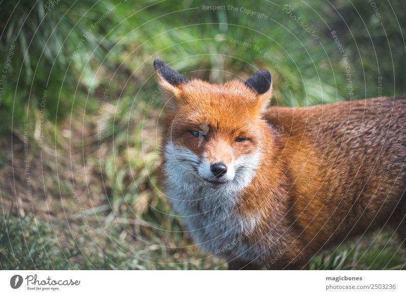 Europäischer Rotfuchs Erholung Erwachsene Natur Landschaft Tier Gras liegen wild grün Hintergrund Briten Fleischfresser Fauna Fuchs niedriger Winkel Säugetier