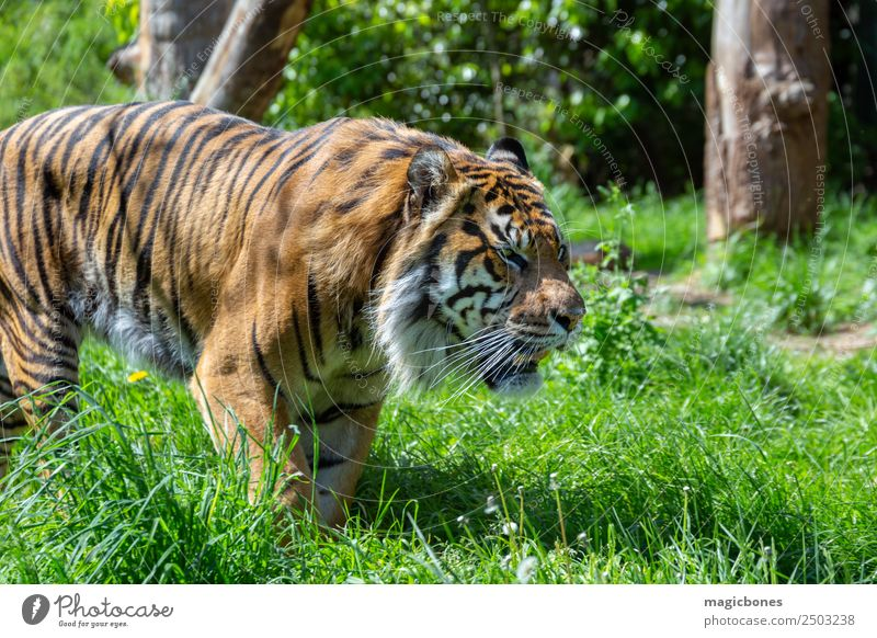 Schleichender Sumatra-Tiger Zoo Tier Urwald Katze Tiergesicht 1 Streifen wild Stark gefährdet Panthera tigris sondaica amur Bengalen groß Raubkatze