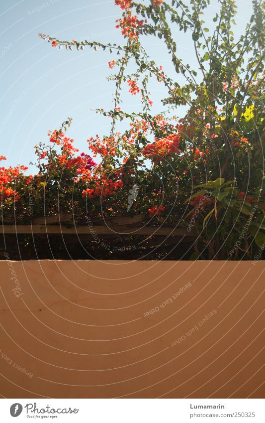 Zweiteiler schön Pflanze Ferien & Urlaub & Reisen Blume Farbe Erholung Wand Garten Blüte Mauer hell orange Zufriedenheit Fassade frisch Tourismus