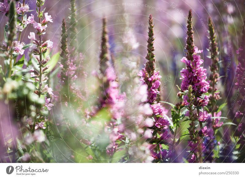 Lythrum salicaria [4] Umwelt Natur Pflanze Sommer Blume Blatt Blüte Wildpflanze gewöhnlicher blutweiderich Stauden Garten Park Blühend Wachstum Duft natürlich