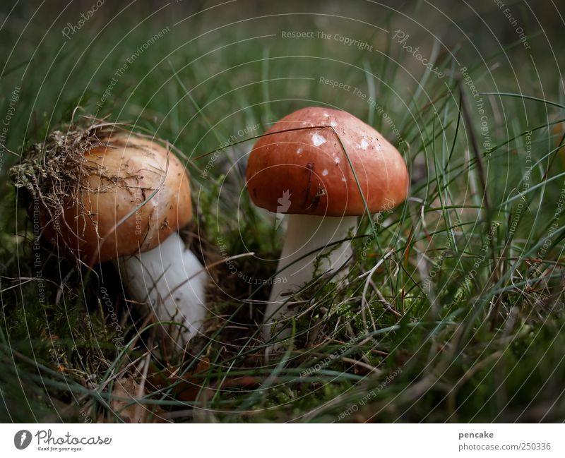 mykophiles idyll Natur Pflanze Herbst Gras Moos Wildpflanze Pilze Täubling Heide Lüneburger Heide Blick grün rosa rot Umwelt Farbfoto Außenaufnahme Tag